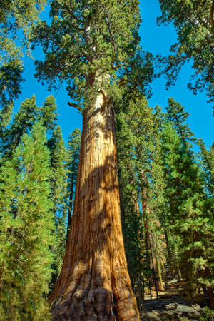 Majestic giants in Sequoia National Park in California, USA