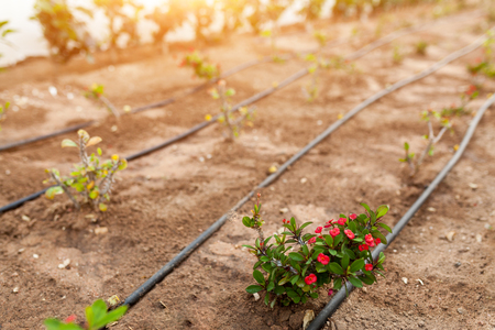 Flowerbed with flowers and the automatic irrigation system with plastic pipes Archivio Fotografico