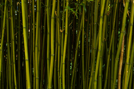 Fresh bamboo background dark tone horizontal image Imagens