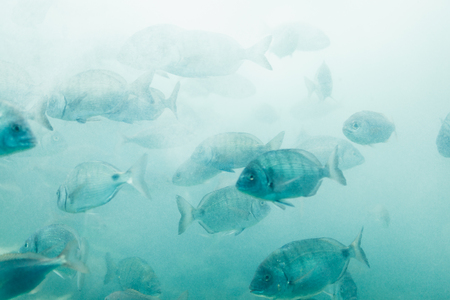 Fishes in aquarium or reservoir ubder water on fish farm Sealife background Stock Photo