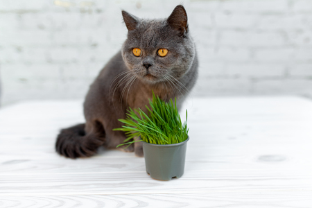 British Shorthair cat He eats useful vitamin-rich grass in a pot from a pet shop. on the gray background Imagens