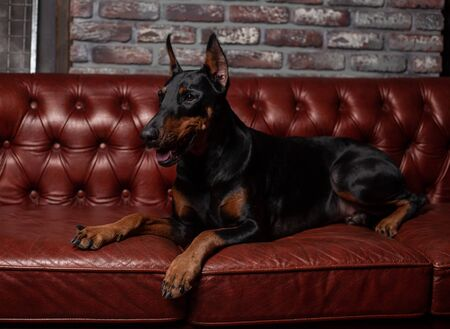 Doberman Pinscher. Dog on a brown background. Dog lies on the leather sofa. Domestic animal