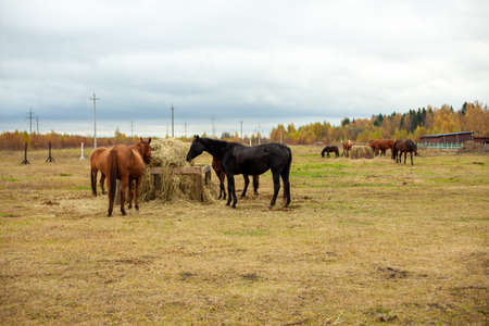 flock of beautiful horses graze in an autumn meadow next to a haystack behind a fence