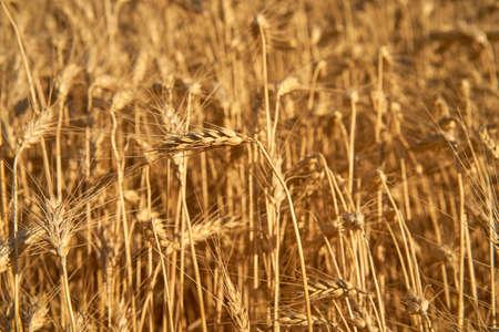 Wheat agricultural field Summer season harvesting