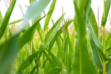 Corn agricultural field close up Summer harves season Summer vegetables growing