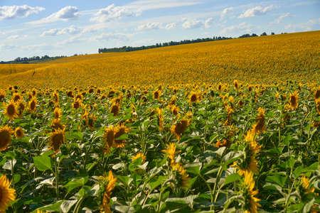 Sunflower agricultural field cloudy sky background Harvest season Summer