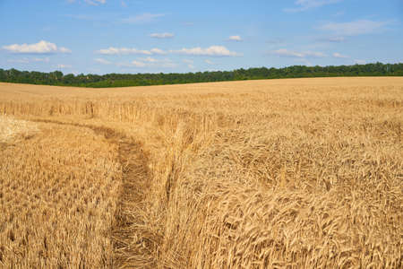 Wheat agricultural field with blue cloudy background Summer season harvesting Foto de archivo
