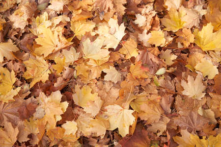 Maple autumn dry leaves background Lies on the ground Seasonal abstract theme