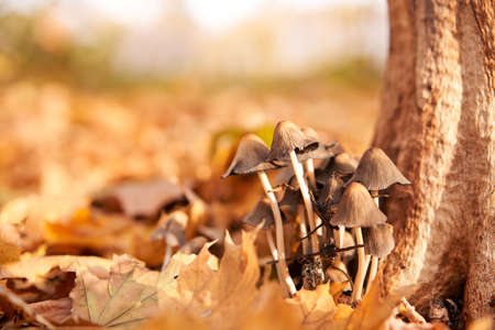 Poisonous mushrooms group grow in autumn leaves near the tree. toadstool grebe fungus fairy-mushroom background