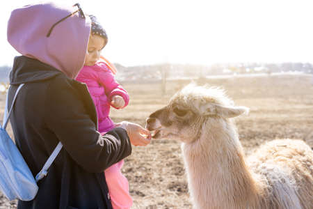Mother and daughter feed Cute animal alpaka lama on farm outdoors With funny teeth Stock Photo