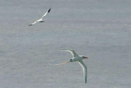Bermuda Longtails Birds 写真素材