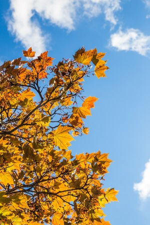 cloudy sky: Autumn Leaves Reaching for a Blue Cloudy Sky