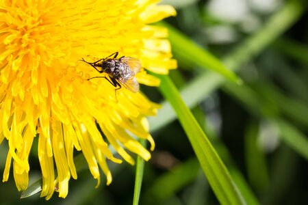 macroshot: A  MacroShot of Fly Sitting on a Coltsfoot and Eating Nectar