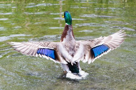 water wings: Duck Showing off Beautiful Patterned Wings over Water
