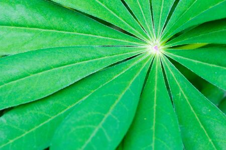 lupin: Green Lupin Flower Leaf Stock Photo