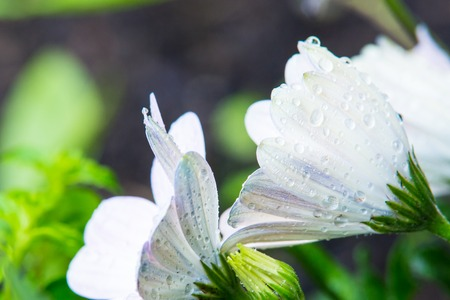 redolence: White Flowers with Waterdrops Stretching Towards Sky Stock Photo