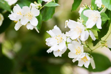 philadelphus: A White Summer Philadelphus Flower on a Tree Stock Photo