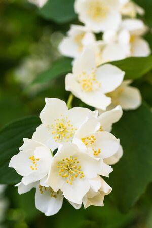 philadelphus: White Summer Philadelphus Flower on a Tree