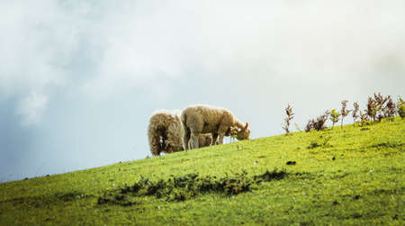 Sheep eating grass on mountain on a sunny day. Nature concept