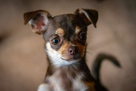 Cute little brown chihuahua dog looking at the front viewer quietly pensative Standard-Bild