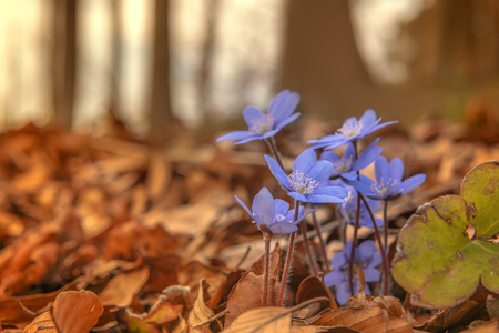 The hepatica (Hepatica nobilis) is a plant species within the family Ranunculaceae. The leaves are reminiscent of the shape of the human liver. Concept: nature, early bloomers and spring