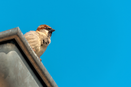 The house sparrow (Passer domesticus) sits on a gutter. Concept: nature and birds in the city