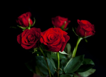 red roses on a  black background
