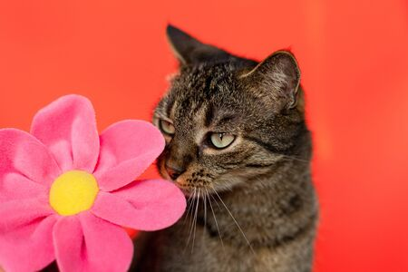 Romantic  cat with a flower on red background photo