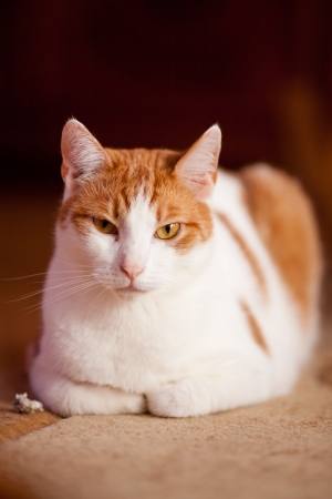 Ginger cat relaxing on a floor after having fun with a peace of paper