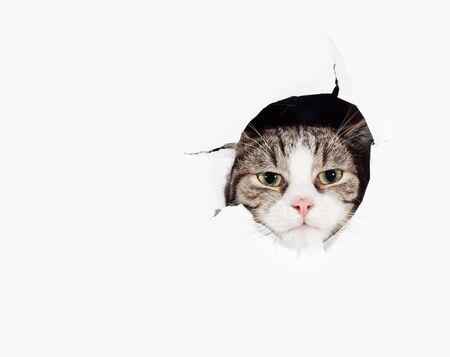 Funny cat putting his head into paper hole