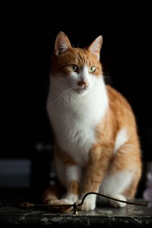 Ginger cat waiting in patience for his owner