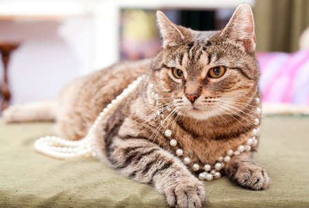 Adult domestic cat wearing a necklace