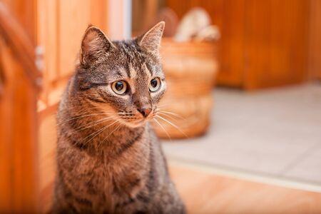 Adult Hauskatze mit großen, dunklen Augen Standard-Bild