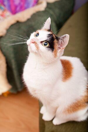 European female cat with big dark eyes waiting for a snac