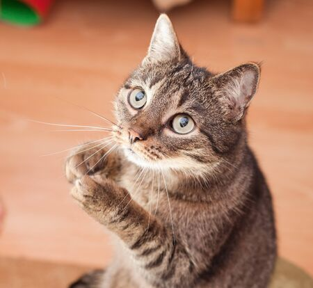 kotów: Europejski kocur pytajÄ…c na przekÄ…skÄ™