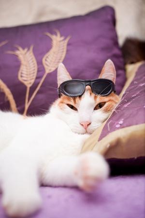 Europäische Ingwer Katze mit dunkler Sonnenbrille