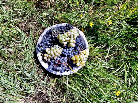 Basket full of grapes after harvest in Galicia Spain