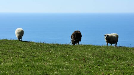 sheeps at the southern coast of Iceland Stock Photo - 12859018