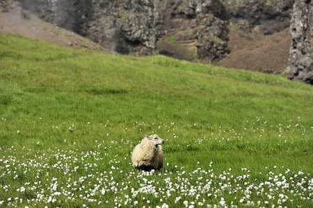 sheep at the valley, Iceland photo