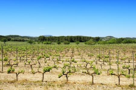 vineyard in the spring in Mallorca, Spain