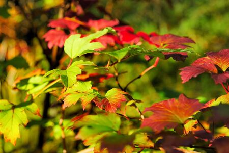 bright autumn red and green leaves in the natural environment