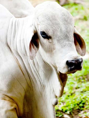 vee: Zebu koe op een vee boerderij of landhuis Stockfoto