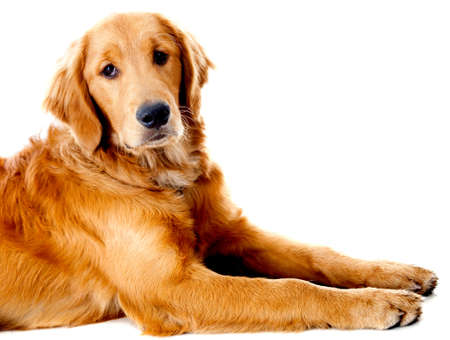calm down: Beautiful dog lying down - isolated over a white background