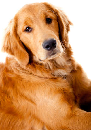 Beautiful Golden Retriever dog - isolated over a white background photo