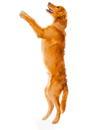 Cute dog jumping  - isolated over a white background photo