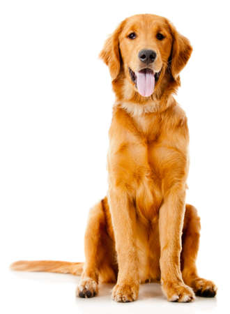 Beautiful dog sitting down - isolated over a white background photo