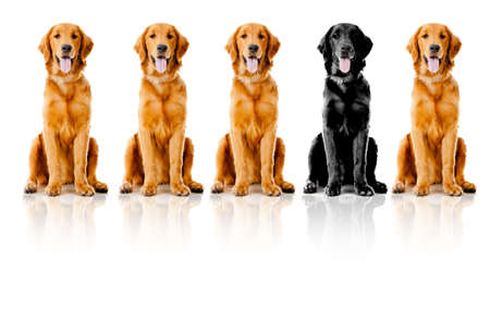 stand out: Beautiful dogs sitting down in a row - isolated over a white background