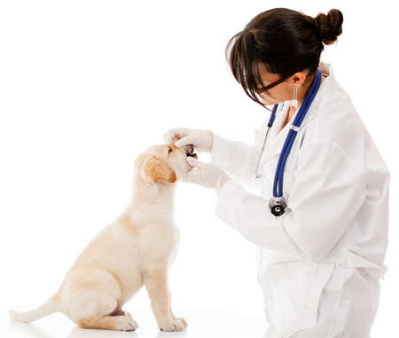 labrador teeth: Vet checking the teeth of a puppy dog - isolated over white