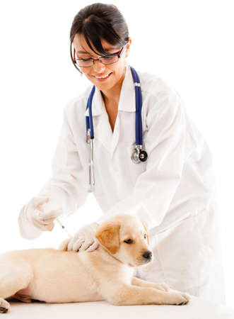vaccination: Puppy getting a vaccine at the vet - isolated over a white background  Stock Photo