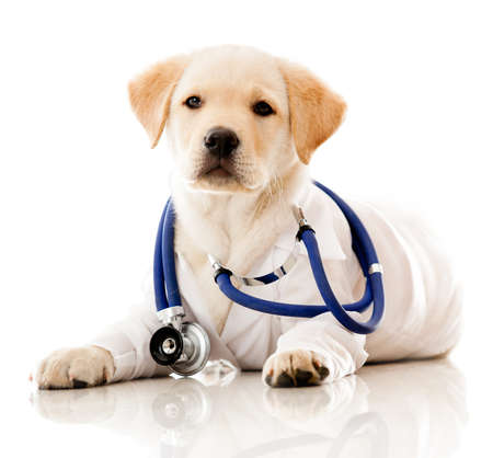 veterinario: Peque�o perro como un manto veterinario de vestir y estetoscopio - aislados en un fondo blanco